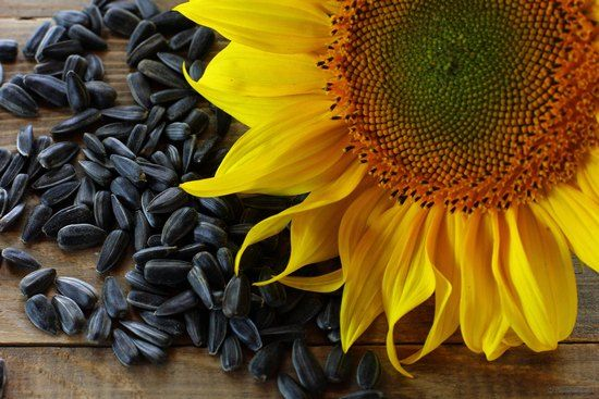 Уживање или здрава храна? Својства, придобивките и штетите на семки од сончоглед за жените и мажите