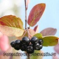 Chernoplodki - корисни својства и контраиндикации