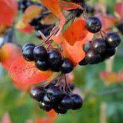 Chokeberry - лековити својства