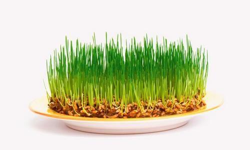 Как да покълнат семената?