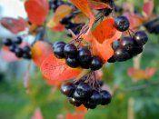 Буш chokeberry аронија