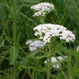 Лечебни свойства на бял равнец билка