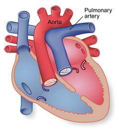 artera pulmonară umană