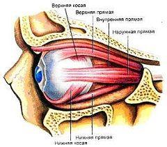 Șase mușchii oculari
