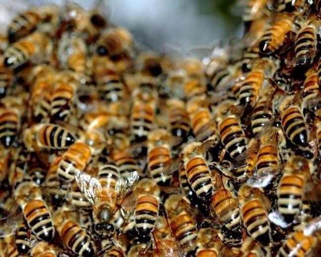 Bee Podmore: лечебни свойства, рецепти за лечение на ставите