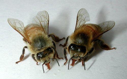 Podmore пчели: Тинктура