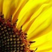 Слънчогледовите семки - ползи и вреди