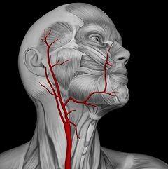 Schema arterei carotide la om