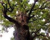 Свойствата на отвара от дъбови кори