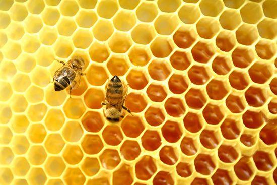 Zabrus пчела: какво е това, използването, ползите и противопоказания, лечебни свойства